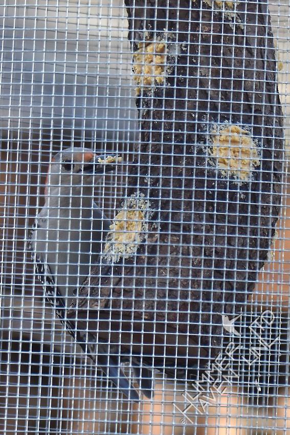 Red-bellied Woodpecker 2-12-17