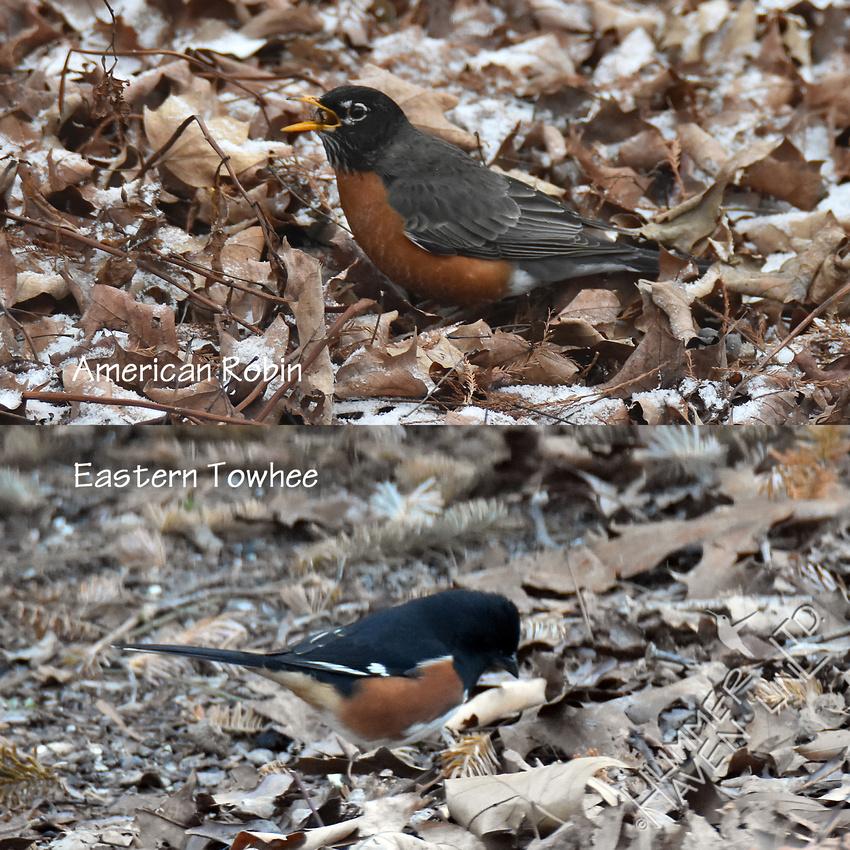 American Robin and Eastern Towhee 2-25-17