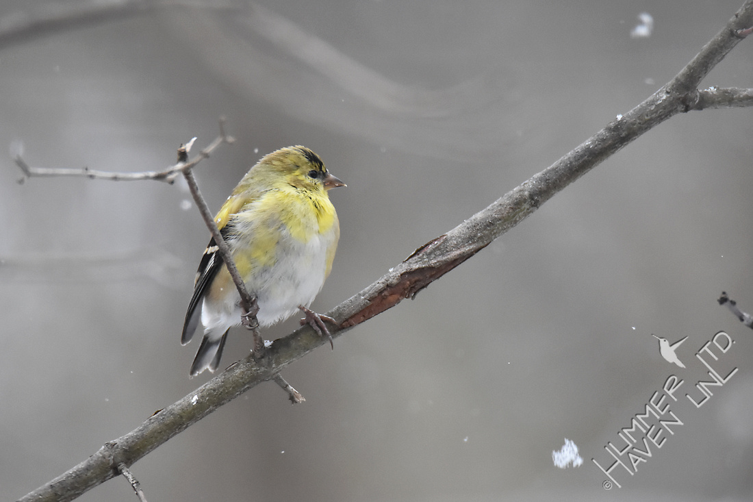 American Goldfinch in snow 3-11-17