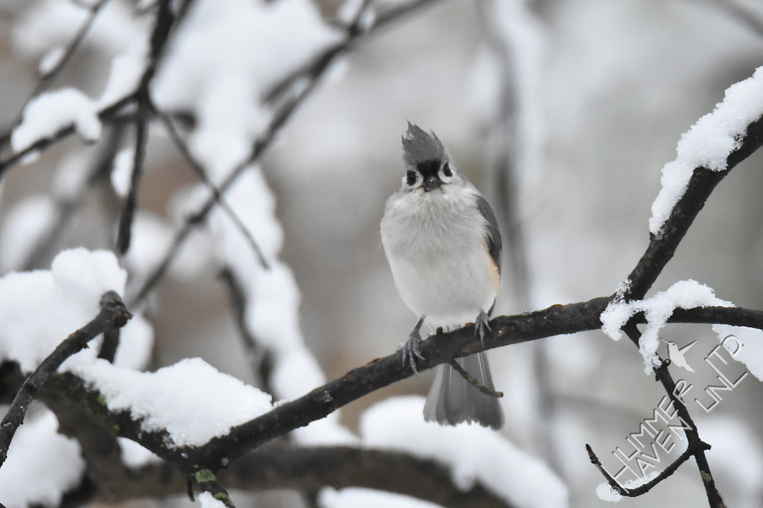 Tufted Titmouse 3-13-17