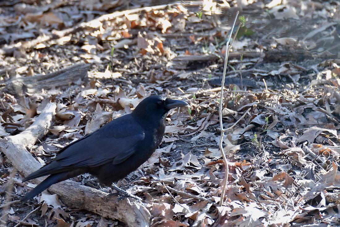 American Crow 3-17-17