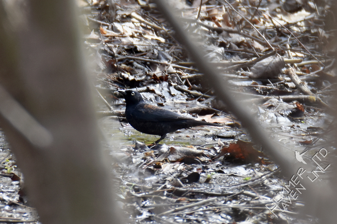 Rusty Blackbird 3-21-17