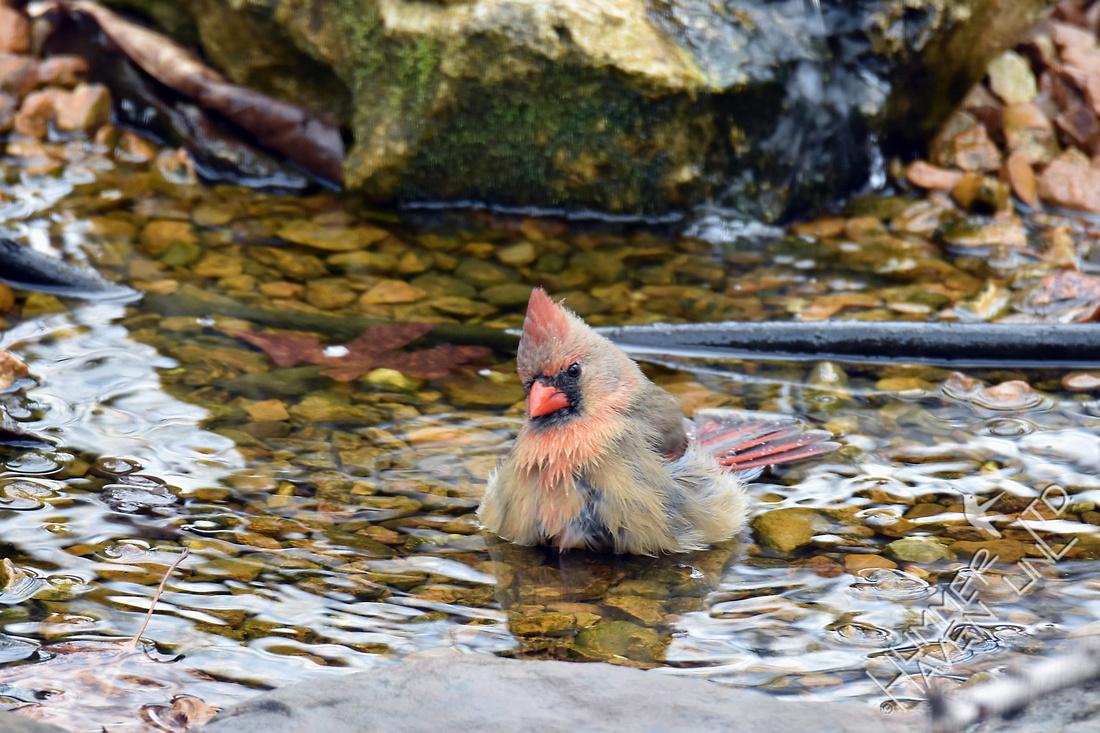 Northern Cardinal female 3-25-17