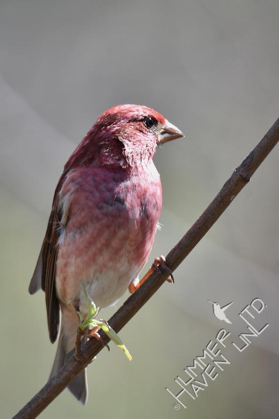 Purple Finch 4-6-17