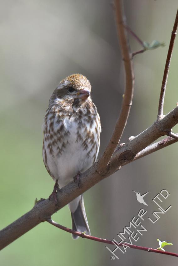 Purple Finch female 4-6-17