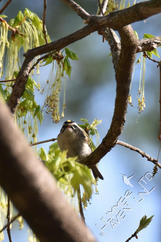 Golden-crowned Kinglet  4-8-17