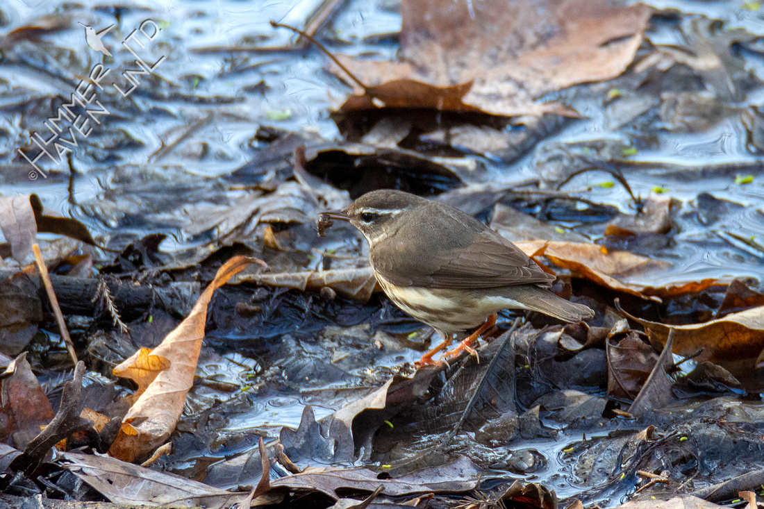 3-30-21 FOY#46 Louisiana Waterthrush
