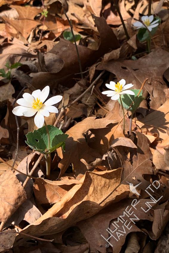 3-27-21 Bloodroot (Sanguinaria canadensis)