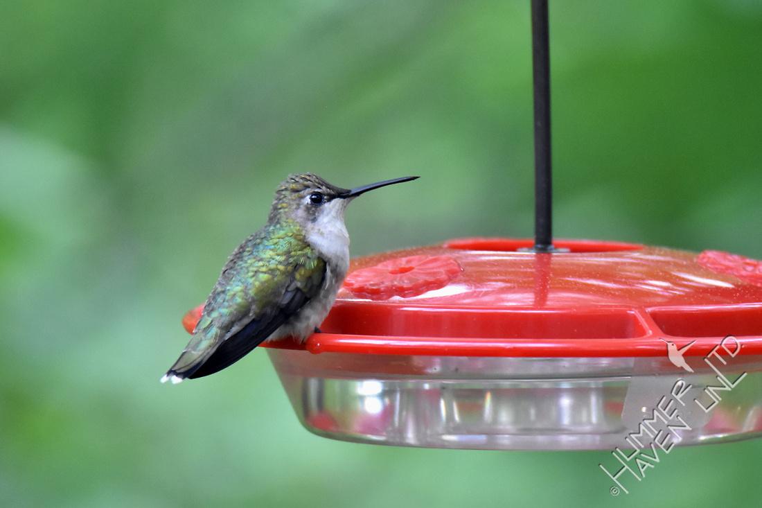 Ruby-throated Hummingbird female 4-20-17