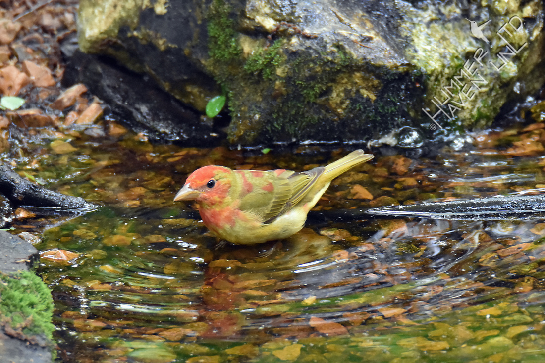 Summer Tanager 1st year male 5-1-17