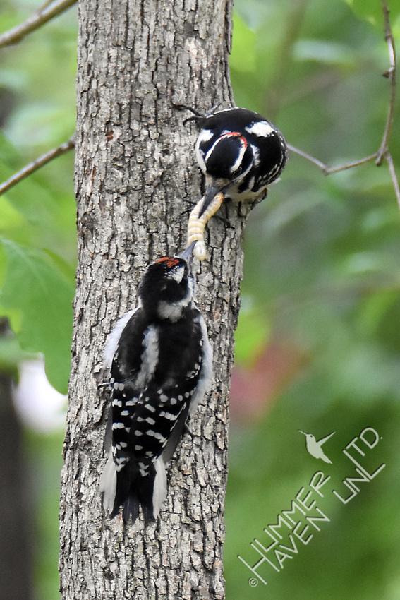 Hairy Woodpecker feeding fledgling 5-1-17