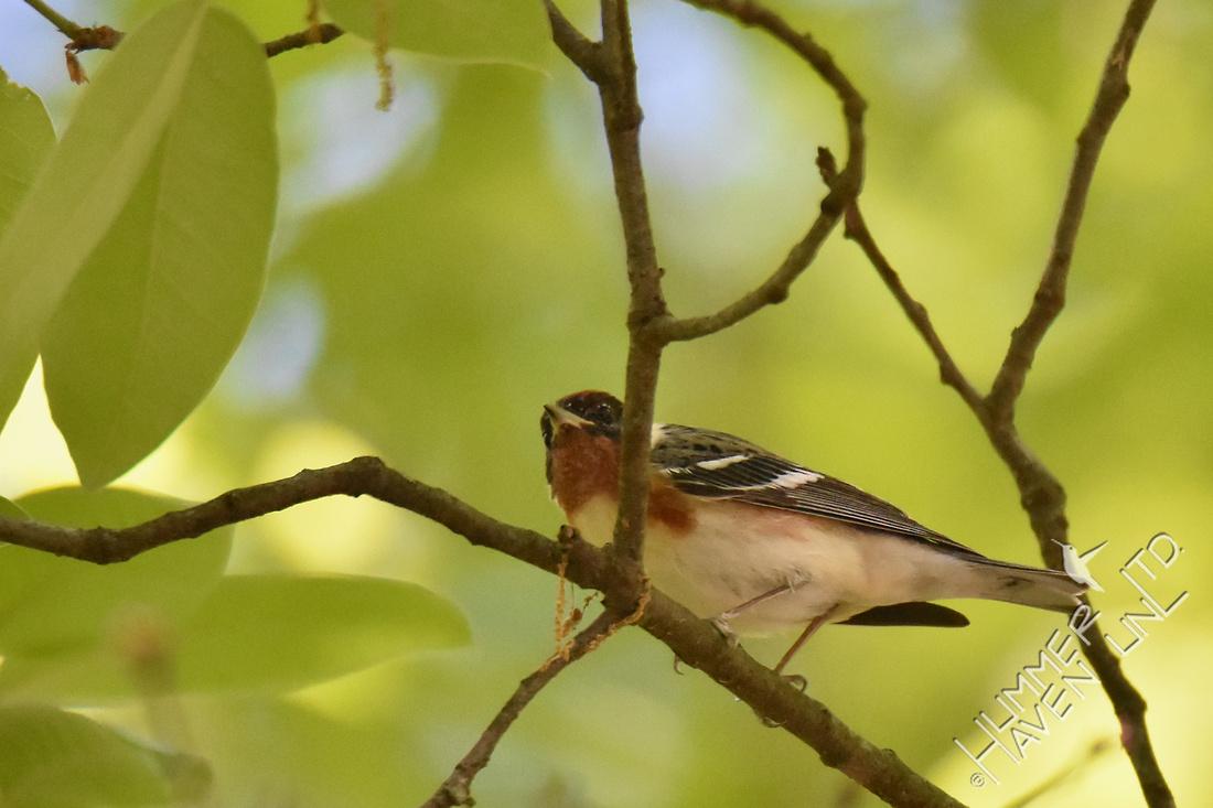 Bay-breasted Warbler 5-2-17