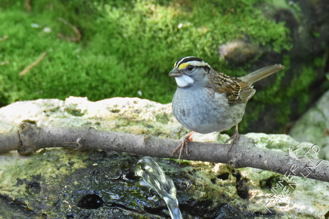 White-throated Sparrow 5-6-17 last seen 5/8/17
