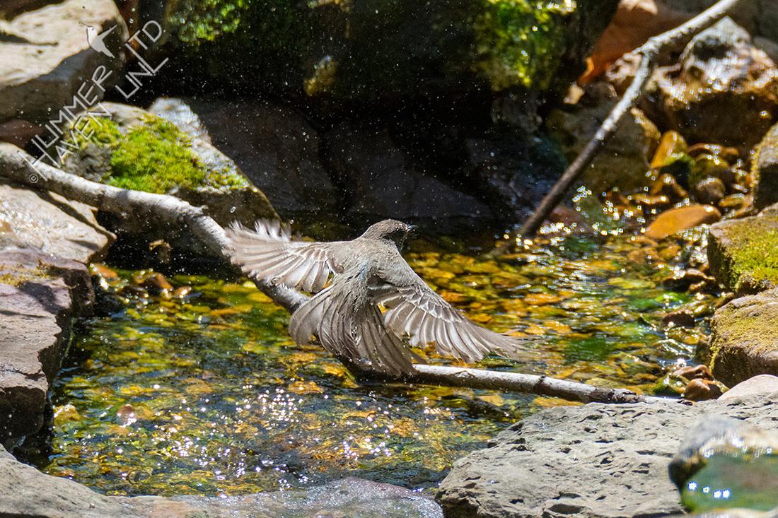 4-9-21 Eastern Phoebe splash-bathing