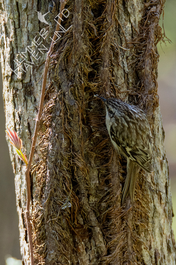 4-14-21 Brown Creeper with insect