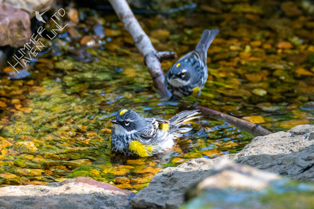 4-14-21 Yellow-rumped Warblers