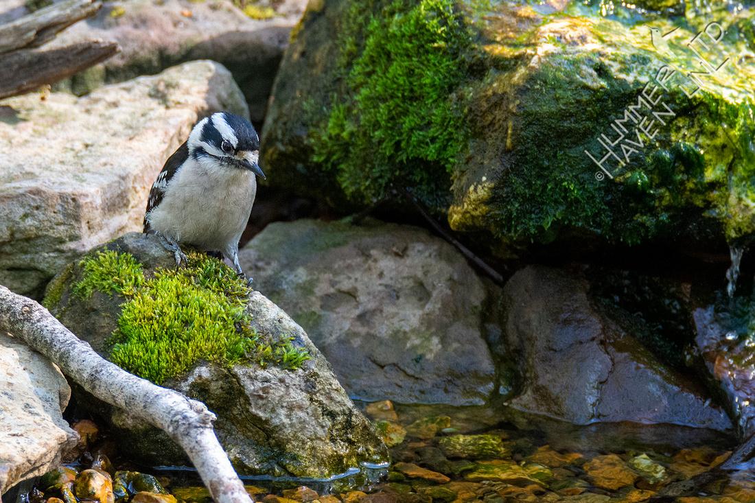 4-14-21 Downy Woodpecker female
