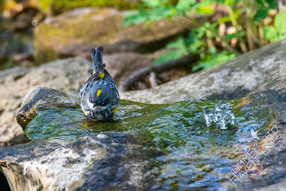 4-15-21 Yellow-rumped Warbler