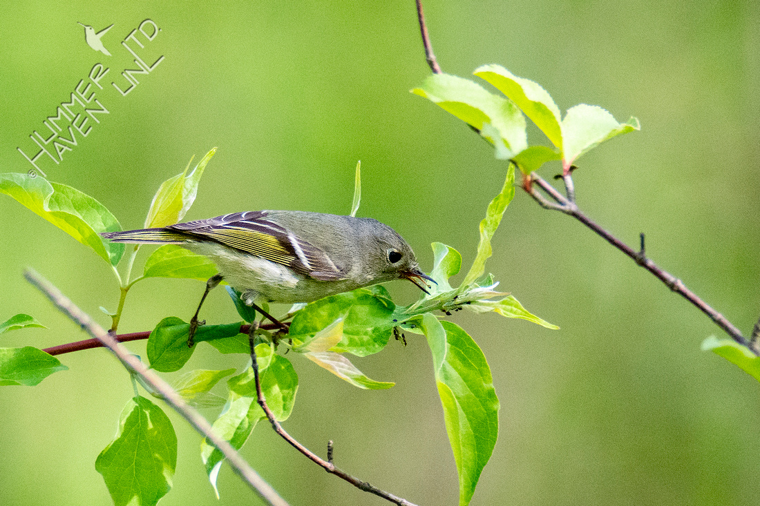 4-15-21 Ruby-crowned Kinglet eating aphids