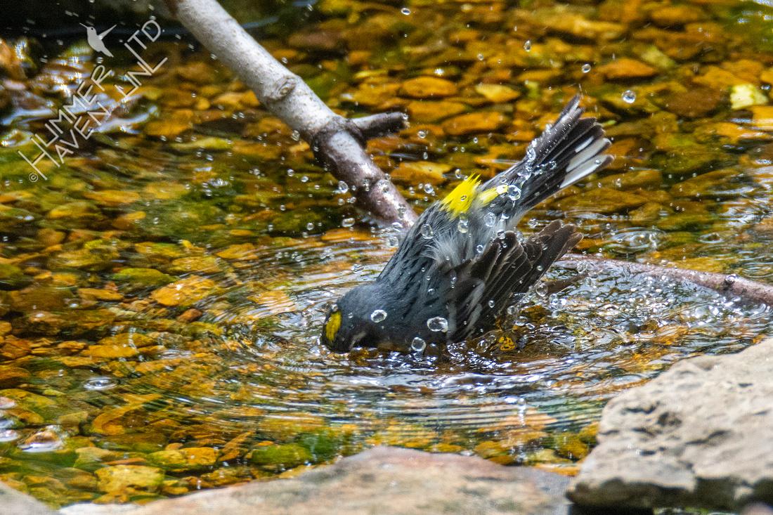 4-16-21 Yellow-rumped Warbler
