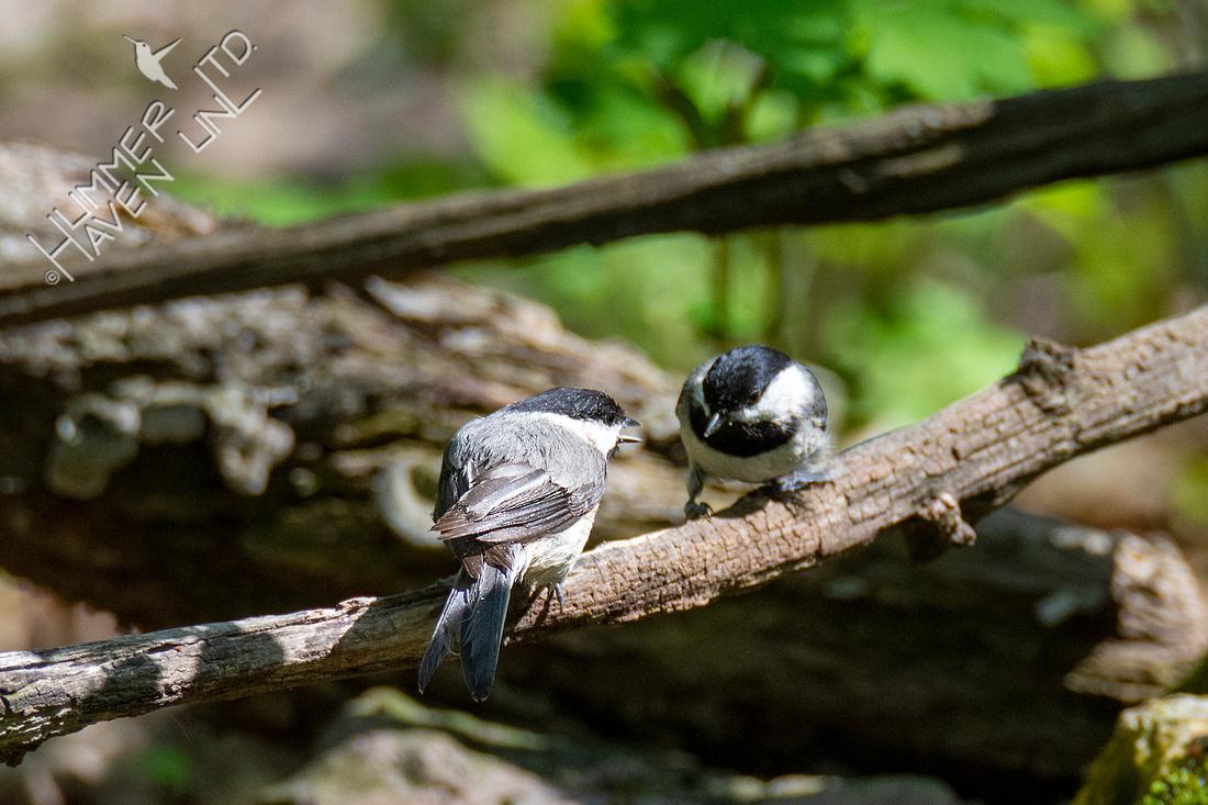 4-19-21 Carolina Chickadees pair bonding