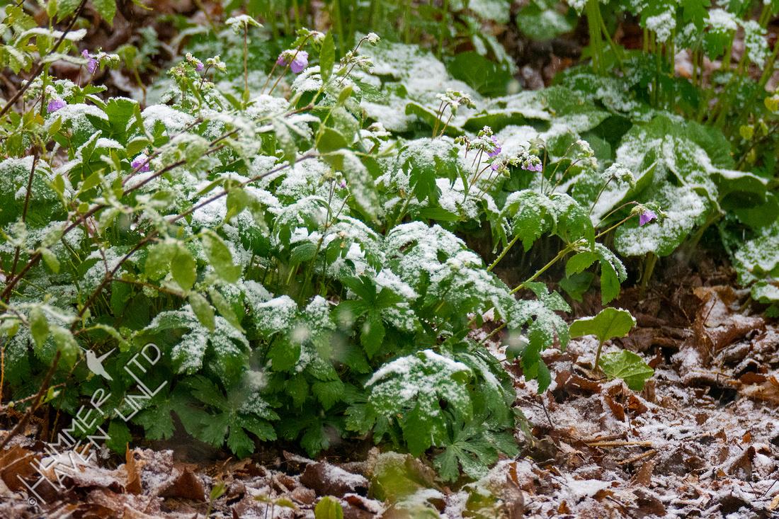 4-20-21 Cranesbill Geranium in snow (Geranium maculatum)