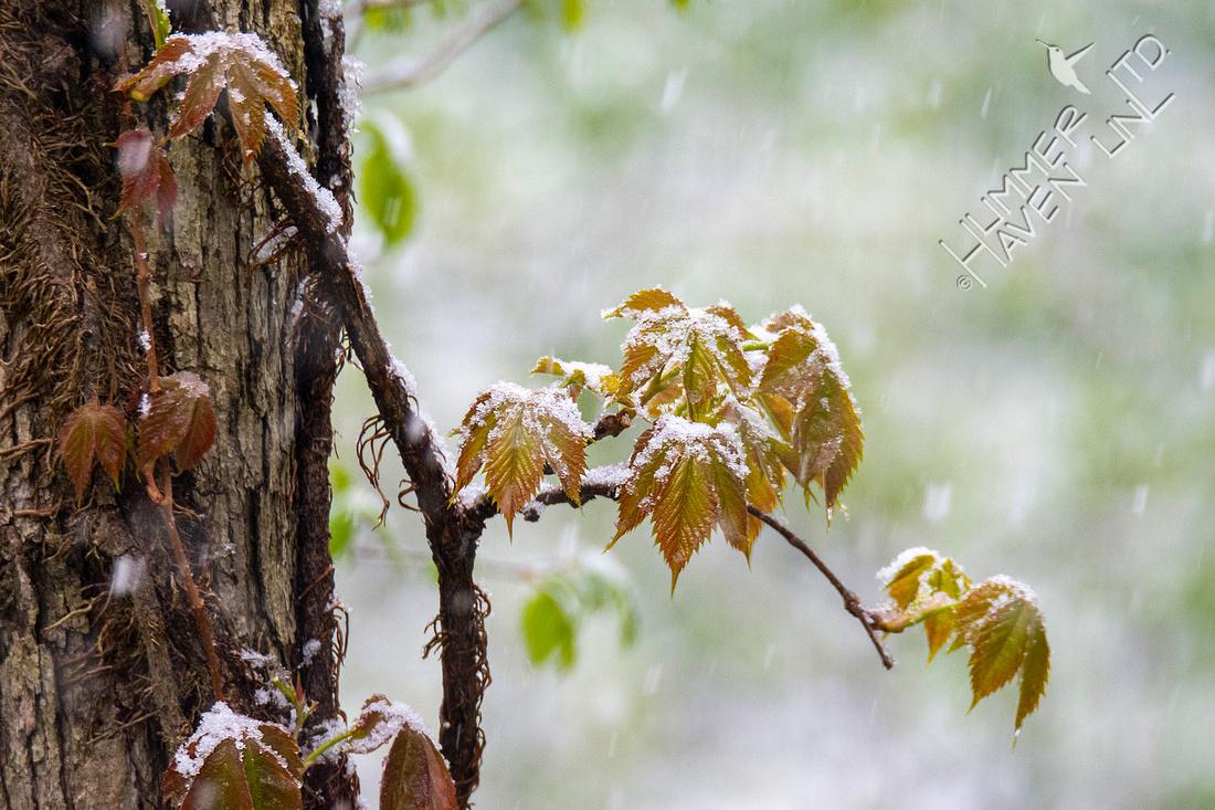4-20-21 Virginia creeper in snow