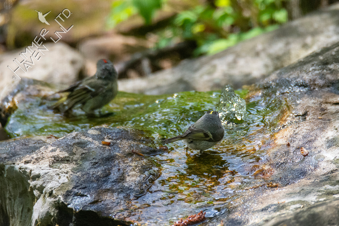 4-21-21 Ruby-crowned Kinglet and Golden-crowned Kinglet