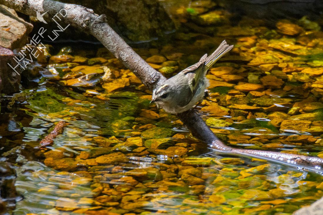 4-21-21 Golden-crowned Kinglet