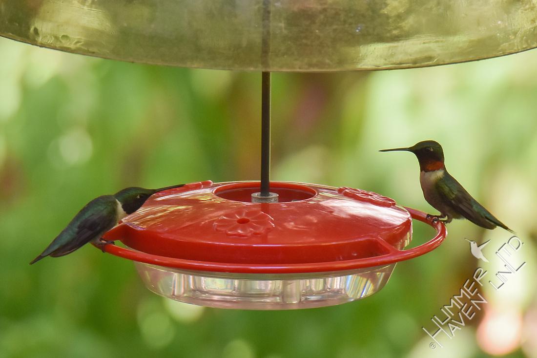 Ruby-throated Hummingbirds 6-25-17
