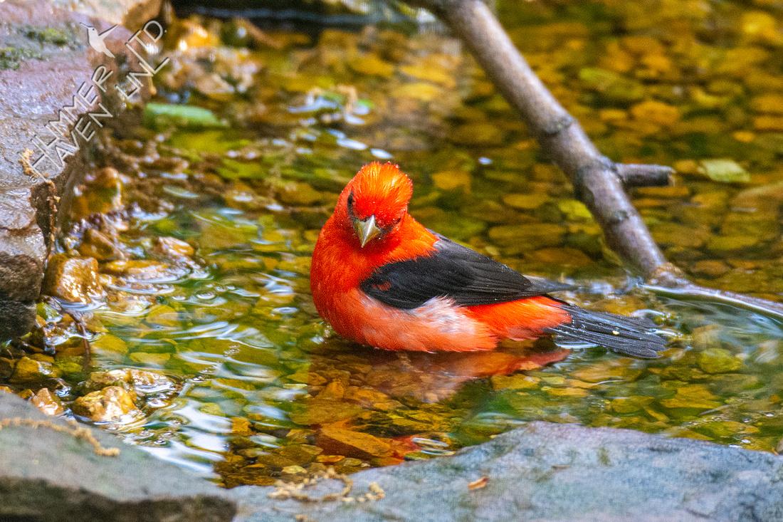 4-29-21 Scarlet Tanager