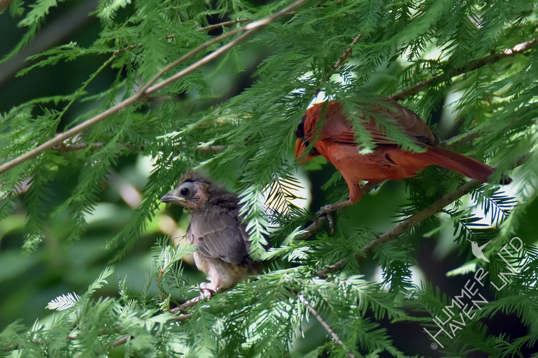 Northern Cardinal fledgling with male 7-4-17