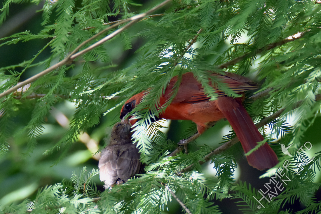 Northern Cardinal fledgling being fed by male 7-4-17