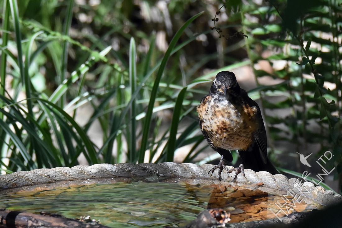 American Robin juvenile at Dripper Bath 7-11-17 temperature at 99 Farenheit
