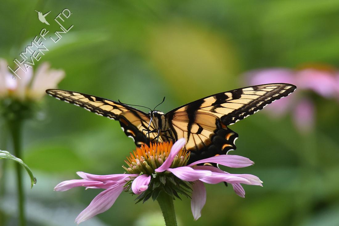 Eastern Tiger Swallowtail on Purple Coneflower (Echinacea purpurea) 7-14-17