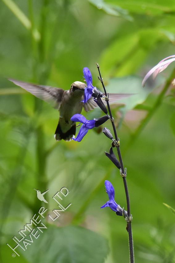 Ruby-throated Hummingbird at Black and Blue Salvia 7-14-17