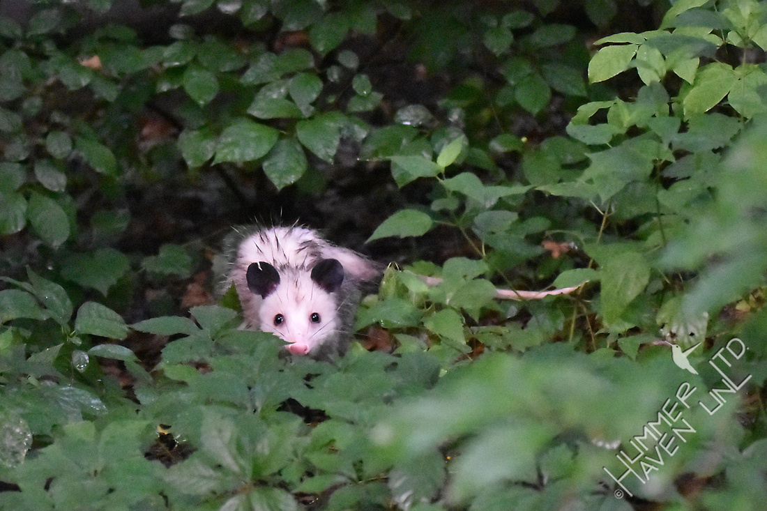 Opossum in the woodland 7-17-17 at 6:04 am