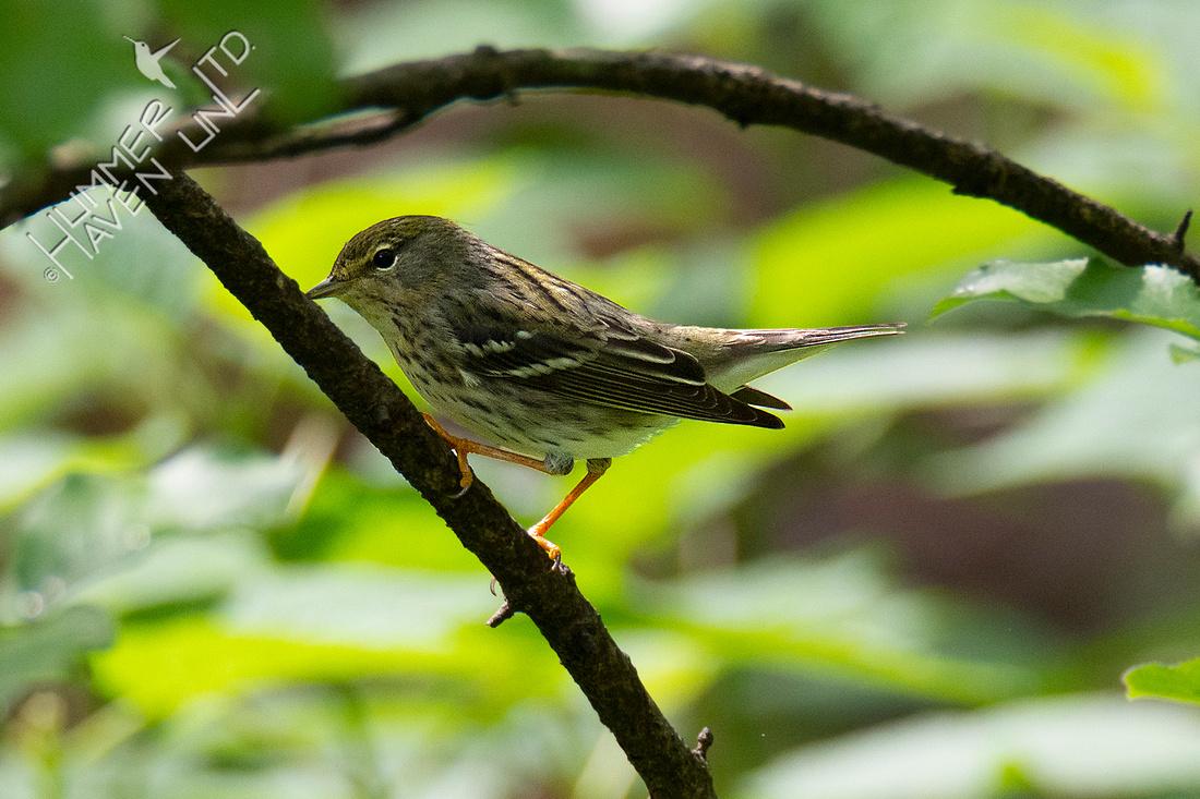 5-3-21 FOY #100  Blackpoll Warbler female