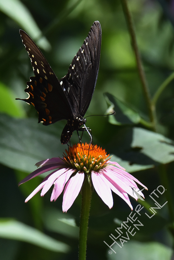 Spicebush Swallowtail on Purple Coneflower (Echinacea purpurea) 7-15-17