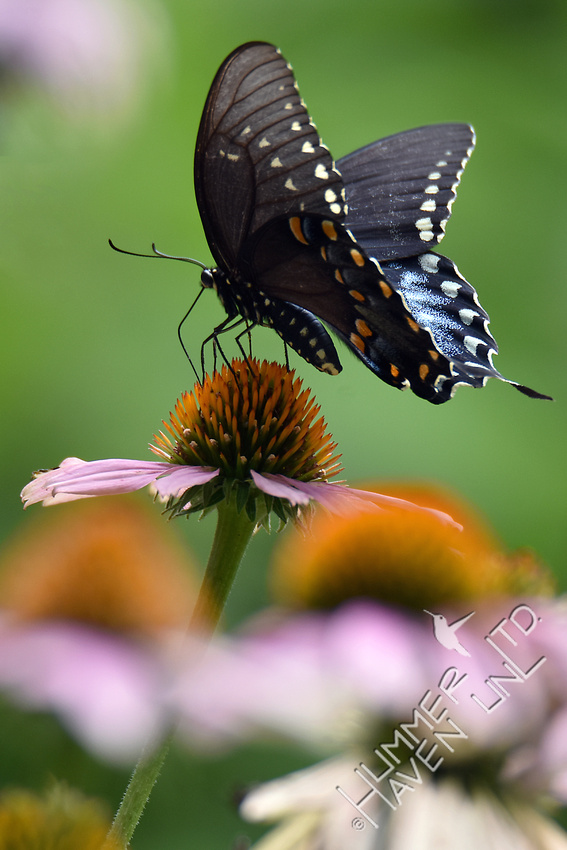 Spicebush Swallowtail on Purple Coneflower (Echinacea purpurea) 7-25-17