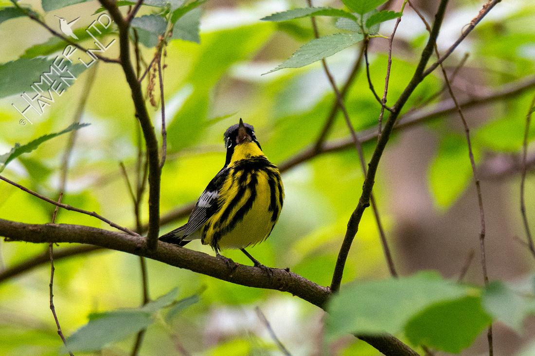 5-8-21 Magnolia Warbler
