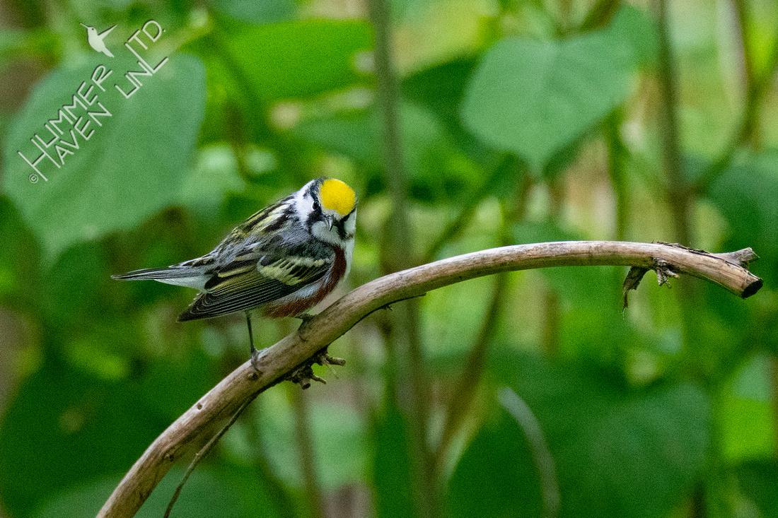 5-9-21 Chestnut-sided Warbler