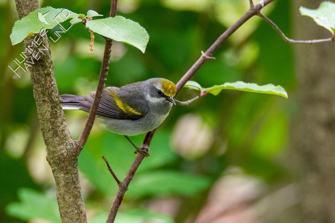 5-7-21 Golden-winged Warbler female