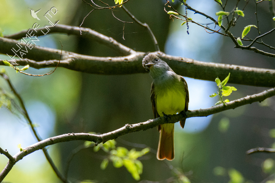 5-14-21 Great Crested Flycatcher