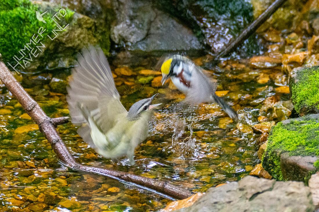 5-16-21 Red-eyed Vireo dive bombs Chestnut-side Warbler