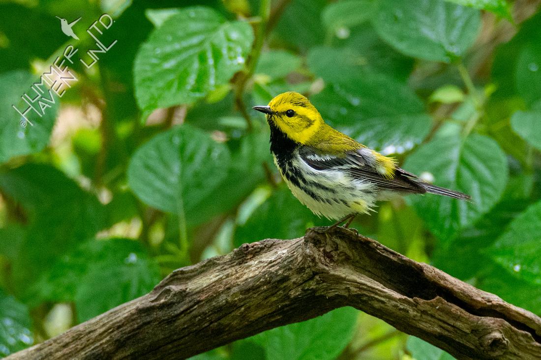 5-16-21 Black-throated Green Warbler