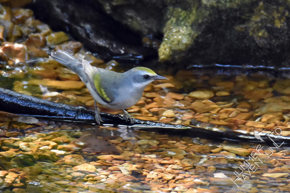 Golden-winged Warbler female 9-26-17