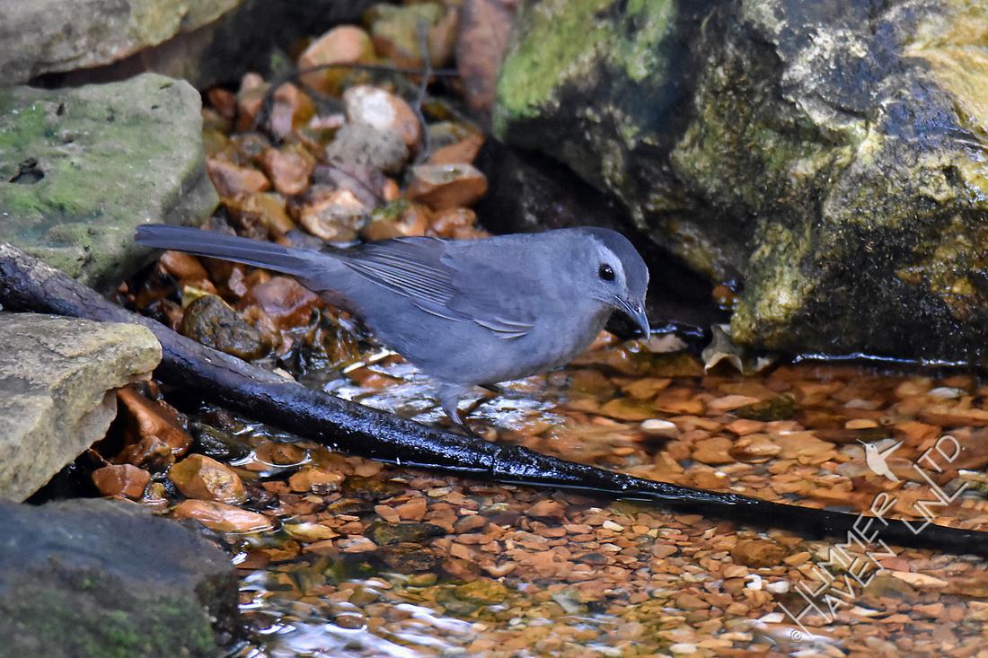 Gray Catbird 9-26-17