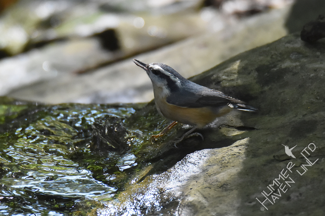 Red-breasted Nuthatch 9-29-17