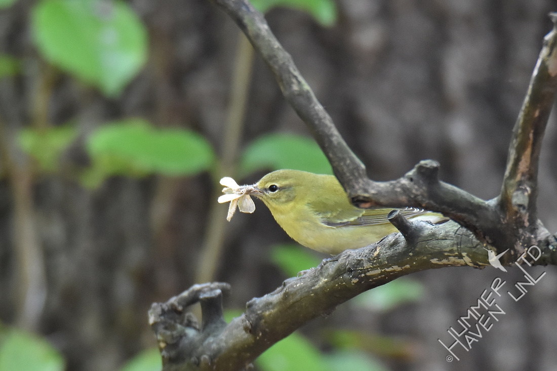 Tennessee Warbler with Lepidoptera species 9-29-17